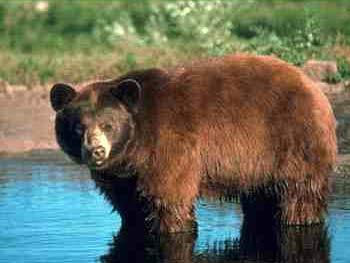 Медведь, Алтай