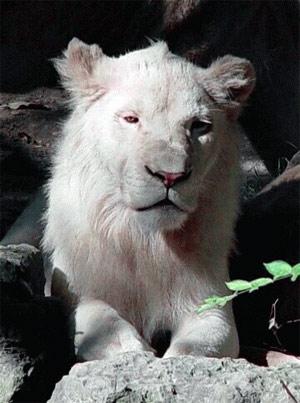 Исчезающий вид - белый лев