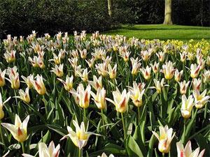 Парад цветов, Нидерланды